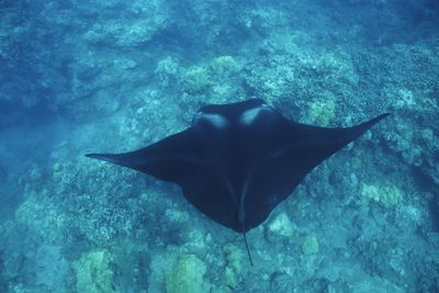 Manta Ray in Hawaii
