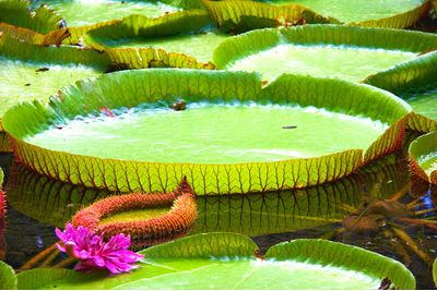 Giant Waterlilies