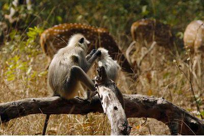 Monkeys and deer, India