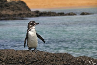 A penguin in the Galapagos, Ecuador