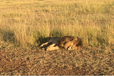 Lion sleeping in the Masai Mara