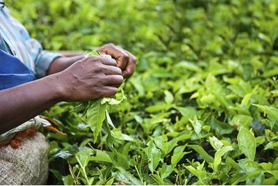 Darjeeling tea leaves picking
