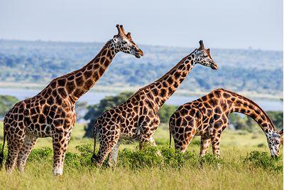 murchison falls giraffes