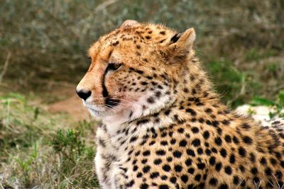 a cheetah resting in south africa