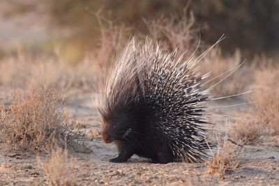 a porcupine in africa