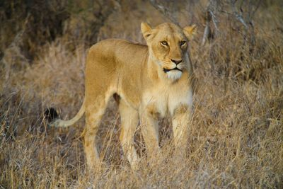 a lioness in South Africa