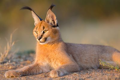 a caracal resting in Namibia
