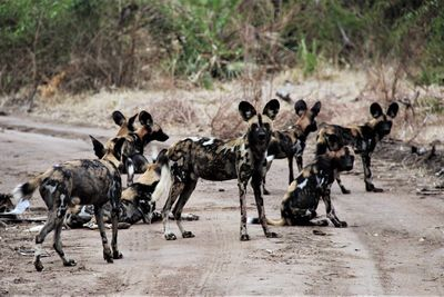 herd of wild dog