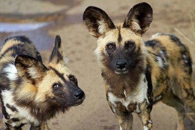 two wild dogs
