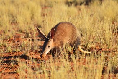 aardvark hunting for ants