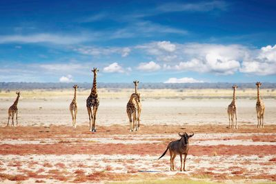 giraffes in etosha national park