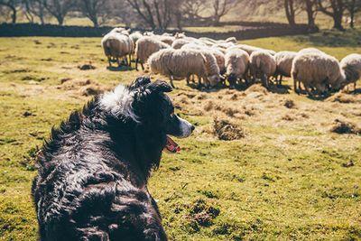 sheepdog & sheep