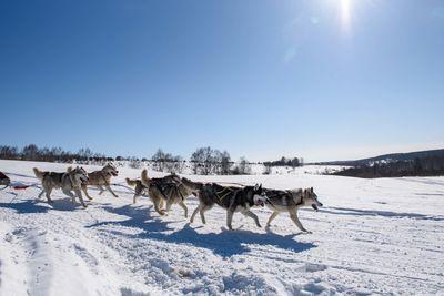 husky dogs running