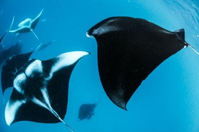 manta rays in Ningaloo Reef