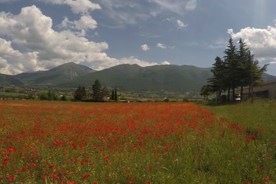 red poppy fields in Umbria