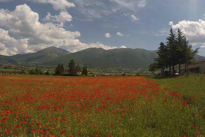 red poppy fields in Umbria