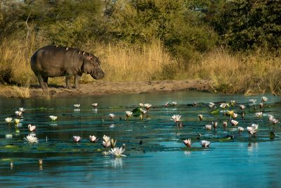 a hippo by a river