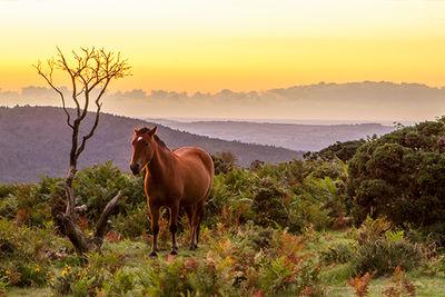 Dartmoor horse