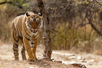 Bengal Tiger Ranthambhore Rajastan
