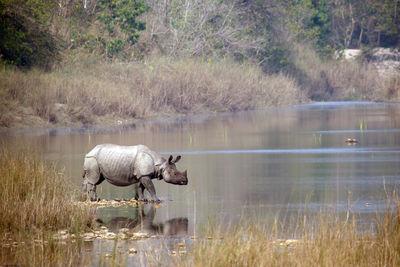 Greater One-horned Rhinoceros in Nepal