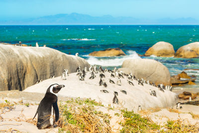 pengoins in cape town