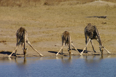 zimbabwe giraffe