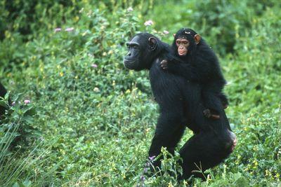 Uganda young chimpanzee