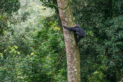 chimpanzee climbing a tree in Rwanda