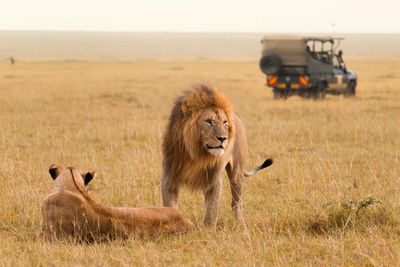 lions safari in kenya