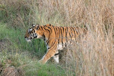 tiger in kanha