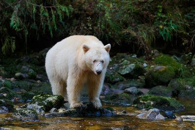 Kermode bear in Canada