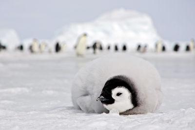 Antarctica penguin