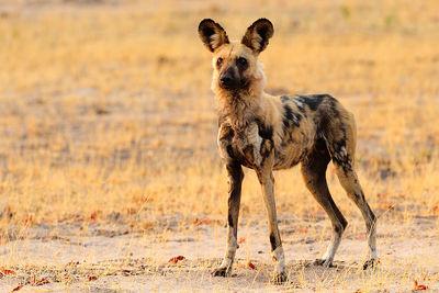 zambia wild dog