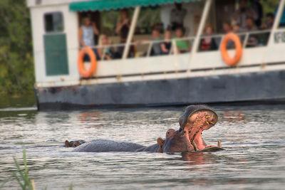 zambezi river zambia wildlife hippo