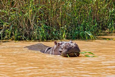 hippo water safari