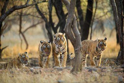 ambush of tigers india