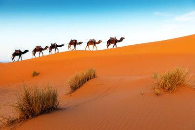 Caravan Camels Morocco