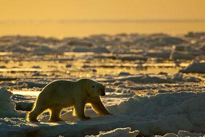 Polar Bear Svalbard Norway