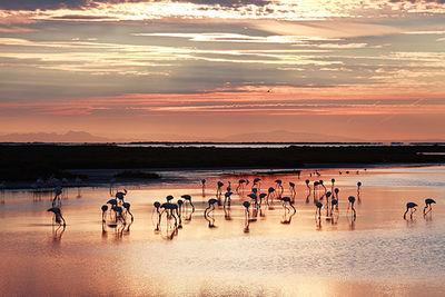 Flamingos South Of France