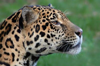 Jaguar Guyana