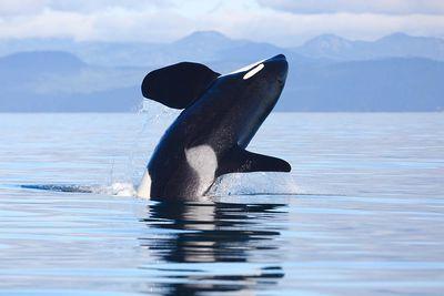 Orca Spotting