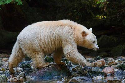 Spirit Bear Hunting