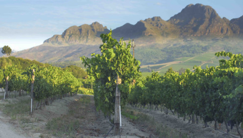 Vineyards of South Africa