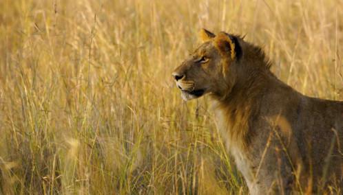 Lioness standing