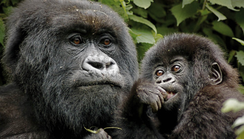 Gorilla and baby close up
