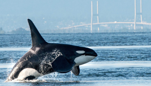 Orca Jumping out of the Water in Vancouver Harbour