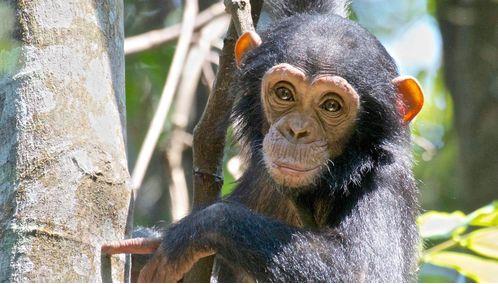Rwanda Baby Chimpanzee