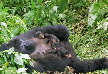 A Gorilla Family in the Parc National des Volcans