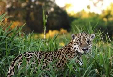 Jaguar, The Pantanal