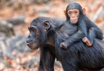 mahale chimps